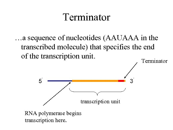 Terminator …a sequence of nucleotides (AAUAAA in the transcribed molecule) that specifies the end