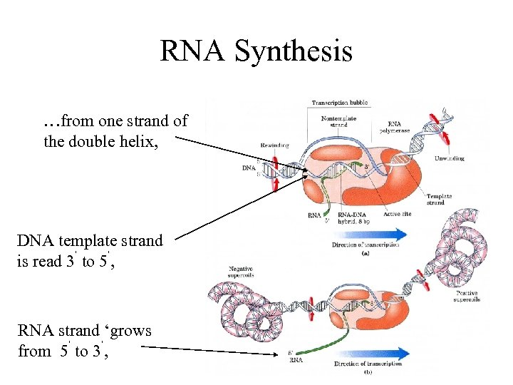 RNA Synthesis …from one strand of the double helix, DNA template strand is read
