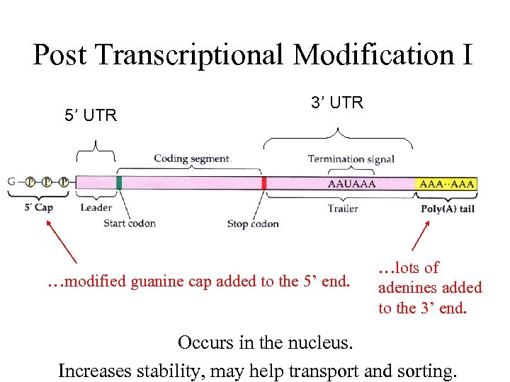 Post Transcriptional Modification I 5' UTR 3' UTR …modified guanine cap added to the