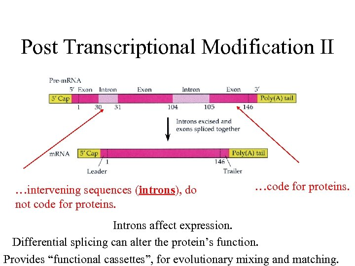 Post Transcriptional Modification II …intervening sequences (introns), do not code for proteins. …code for