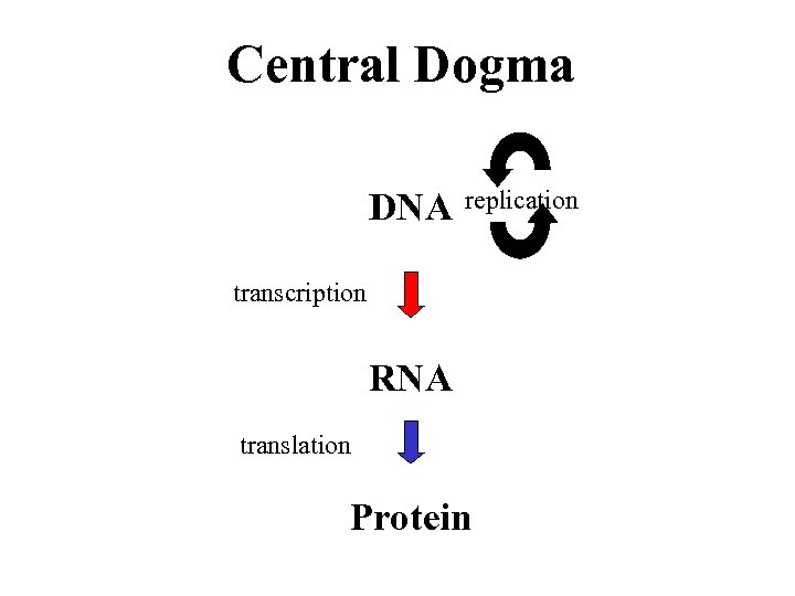 Central Dogma DNA replication transcription RNA translation Protein