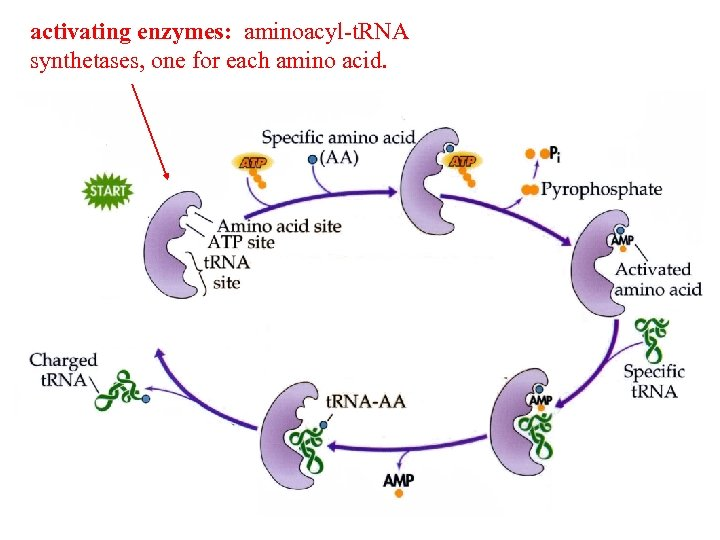activating enzymes: aminoacyl-t. RNA synthetases, one for each amino acid.