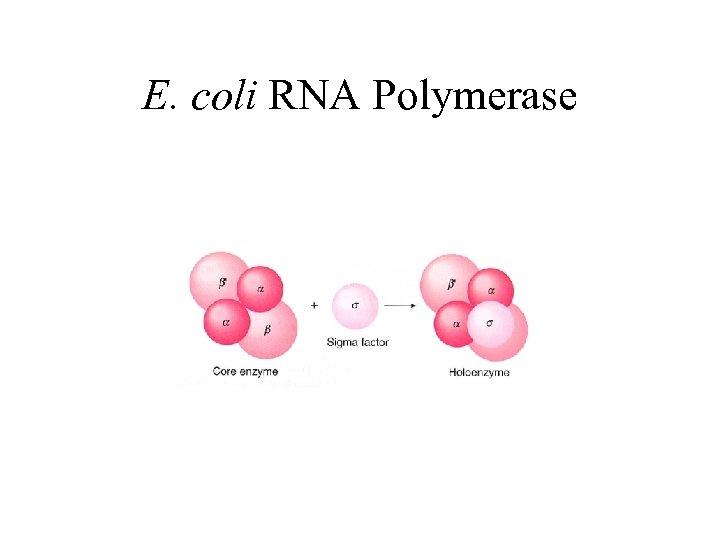 E. coli RNA Polymerase