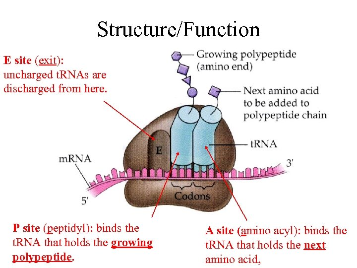 Structure/Function E site (exit): uncharged t. RNAs are discharged from here. P site (peptidyl):