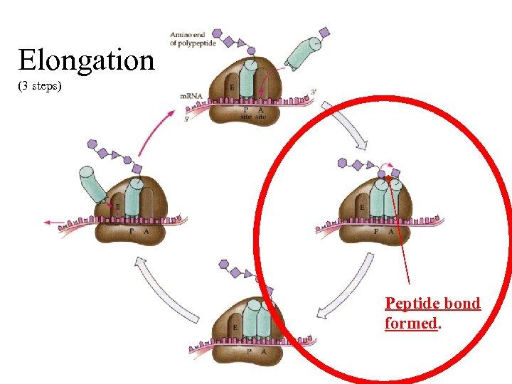 Elongation (3 steps) Peptide bond formed.