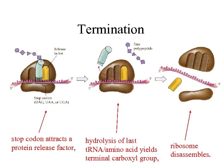 Termination stop codon attracts a protein release factor, hydrolysis of last t. RNA/amino acid
