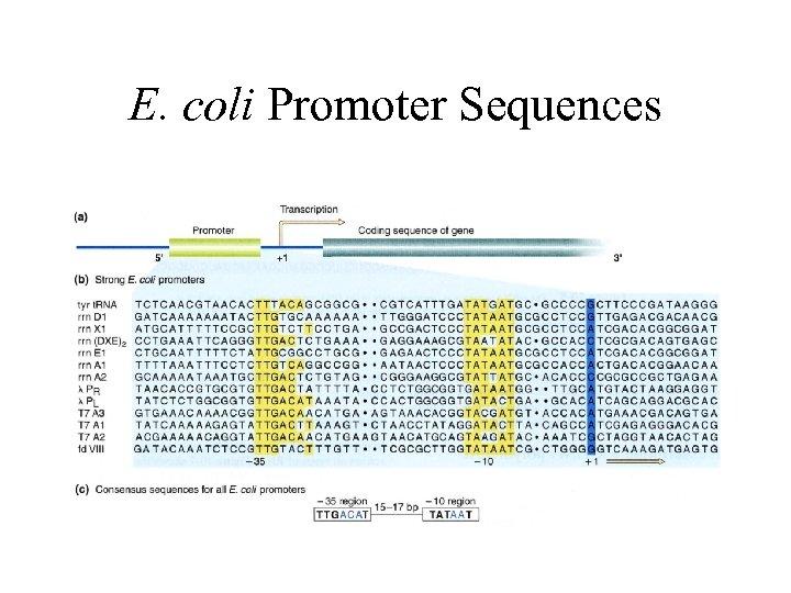 E. coli Promoter Sequences