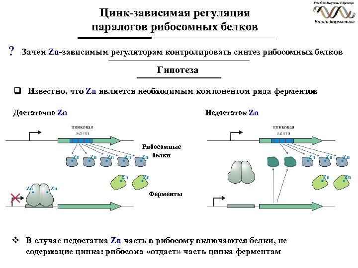 Цинк-зависимая регуляция паралогов рибосомных белков ? Зачем Zn-зависимым регуляторам контролировать синтез рибосомных белков Гипотеза