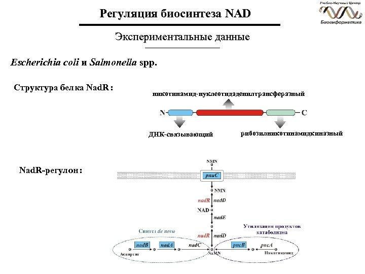 Регуляция биосинтеза NAD Экспериментальные данные Escherichia coli и Salmonella spp. Структура белка Nad. R