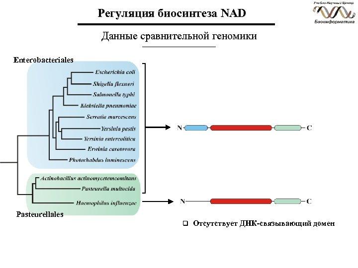 Регуляция биосинтеза NAD Данные сравнительной геномики Enterobacteriales Pasteurellales q Отсутствует ДНК-связывающий домен