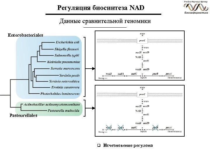 Регуляция биосинтеза NAD Данные сравнительной геномики Enterobacteriales Pasteurellales q Исчезновение регулона