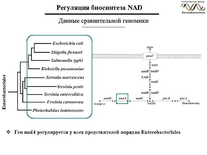 Регуляция биосинтеза NAD Enterobacteriales Данные сравнительной геномики v Ген nad. A регулируется у всех