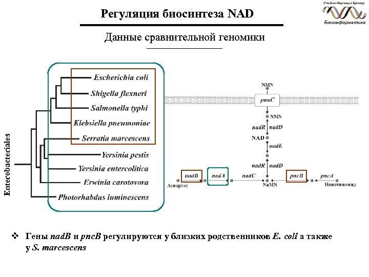 Регуляция биосинтеза NAD Enterobacteriales Данные сравнительной геномики v Гены nad. B и pnc. B
