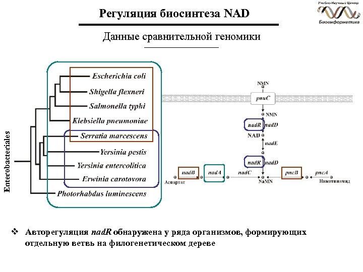 Регуляция биосинтеза NAD Enterobacteriales Данные сравнительной геномики v Авторегуляция nad. R обнаружена у ряда