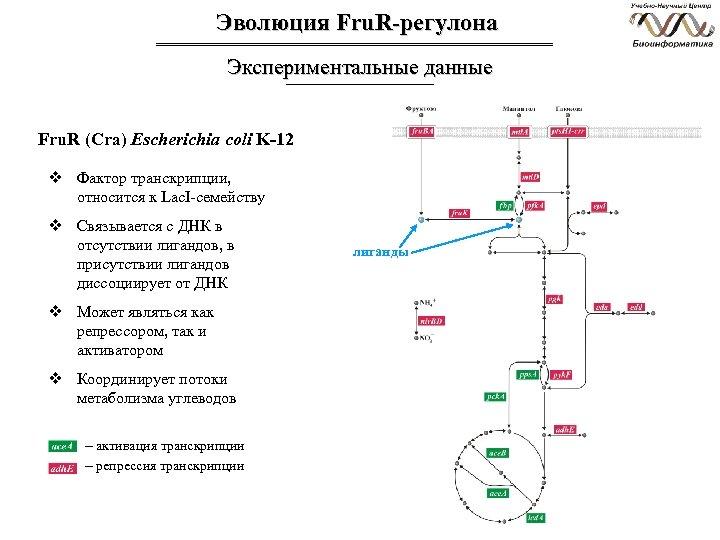 Эволюция Fru. R-регулона Экспериментальные данные Fru. R (Cra) Escherichia coli K-12 v Фактор транскрипции,