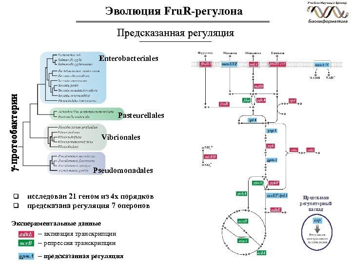 Эволюция Fru. R-регулона Предсказанная регуляция Enterobacteriales Pasteurellales Vibrionales Pseudomonadales q q исследован 21 геном