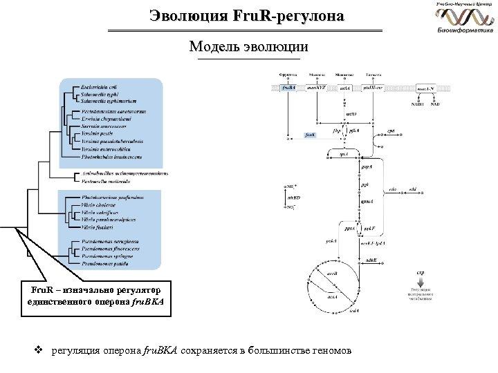 Эволюция Fru. R-регулона Модель эволюции Fru. R – изначально регулятор единственного оперона fru. BKA