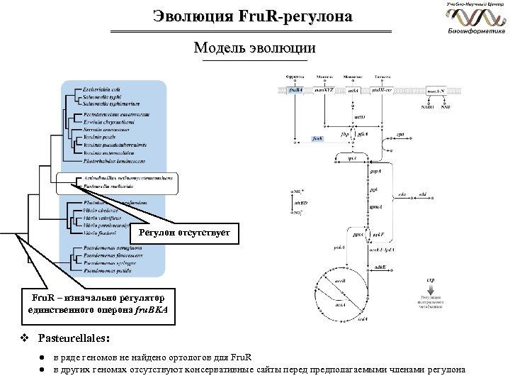 Эволюция Fru. R-регулона Модель эволюции Регулон отсутствует Fru. R – изначально регулятор единственного оперона