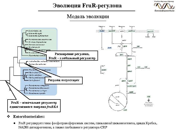 Эволюция Fru. R-регулона Модель эволюции Расширение регулона, Fru. R – глобальный регулятор Регулон отсутствует