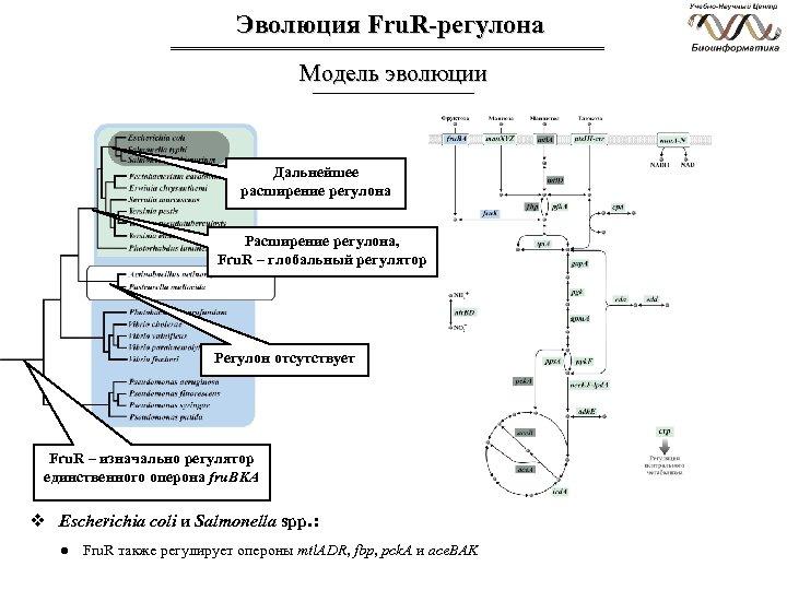 Эволюция Fru. R-регулона Модель эволюции Дальнейшее расширение регулона Расширение регулона, Fru. R – глобальный