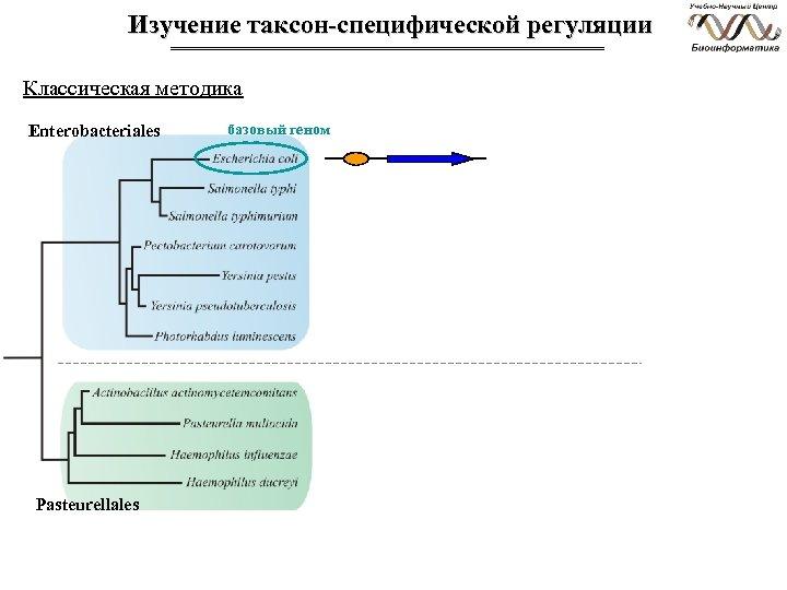 Изучение таксон-специфической регуляции Классическая методика Enterobacteriales Pasteurellales базовый геном
