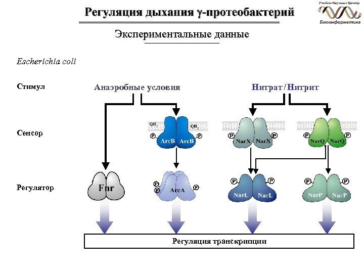 Экспериментальные данные Escherichia coli Стимул Анаэробные условия Нитрат / Нитрит Сенсор Регулятор Регуляция транскрипции