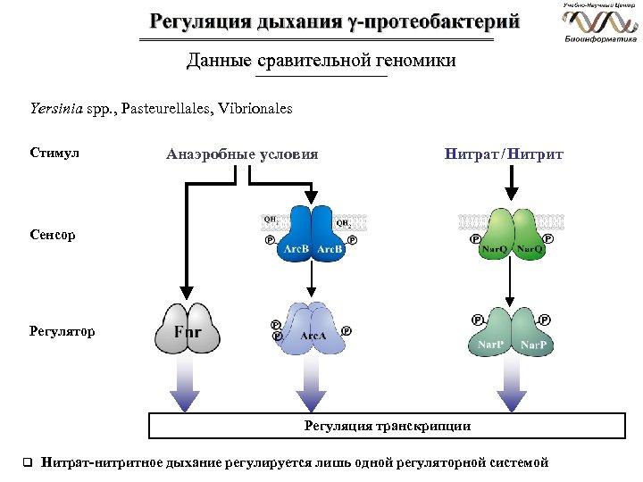 Данные сравительной геномики Yersinia spp. , Pasteurellales, Vibrionales Стимул Анаэробные условия Нитрат / Нитрит