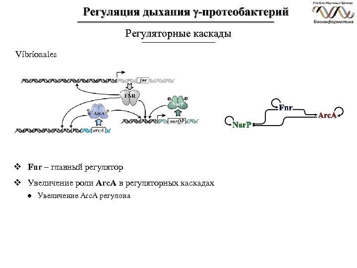 Регуляторные каскады Vibrionales v Fnr – главный регулятор v Увеличение роли Arc. A в