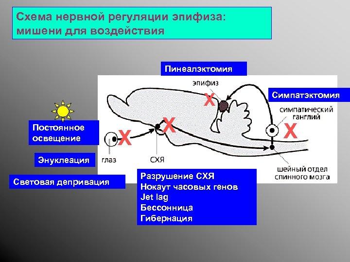 Схема нервной регуляции эпифиза: мишени для воздействия Пинеалэктомия X Постоянное освещение Энуклеация Световая депривация