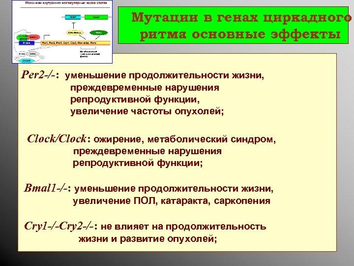 Мутации в генах циркадного ритма основные эффекты : Per 2 -/-: уменьшение продолжительности жизни,