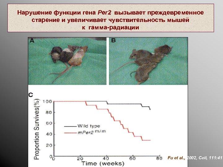 Нарушение функции гена Per 2 вызывает преждевременное старение и увеличивает чувствительность мышей к гамма-радиации