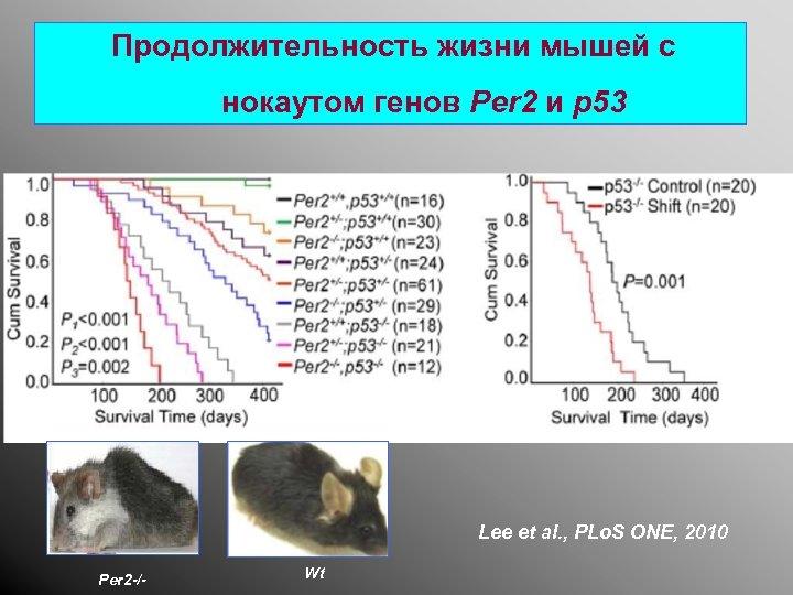 Продолжительность жизни мышей с нокаутом генов Per 2 и p 53 Lee et al.