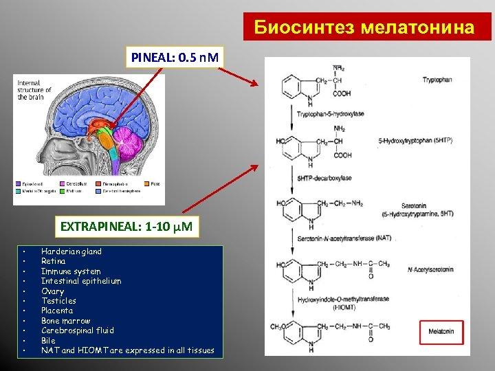 Биосинтез мелатонина PINEAL: 0. 5 n. M EXTRAPINEAL: 1 -10 µM • • •