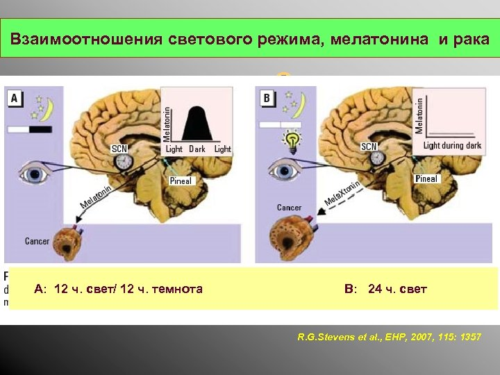 Взаимоотношения светового режима, мелатонина и рака C А: 12 ч. свет/ 12 ч. темнота