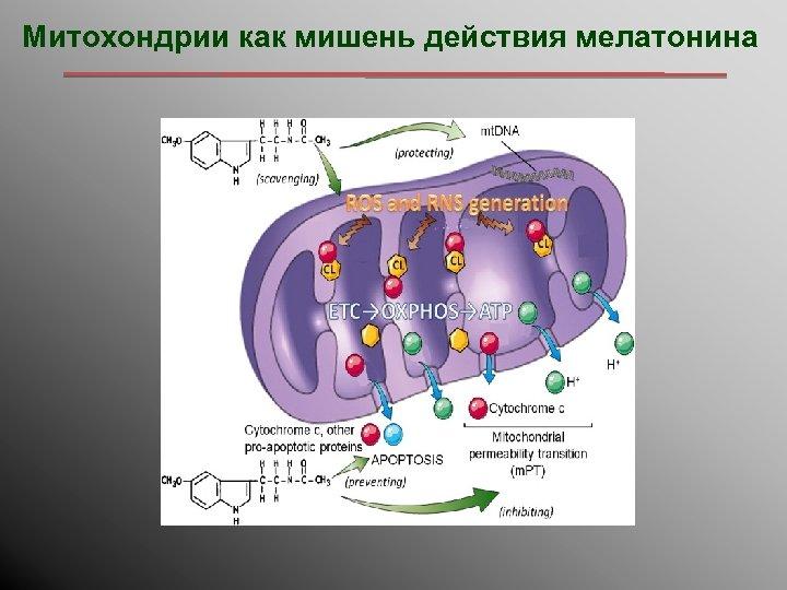 Митохондрии как мишень действия мелатонина