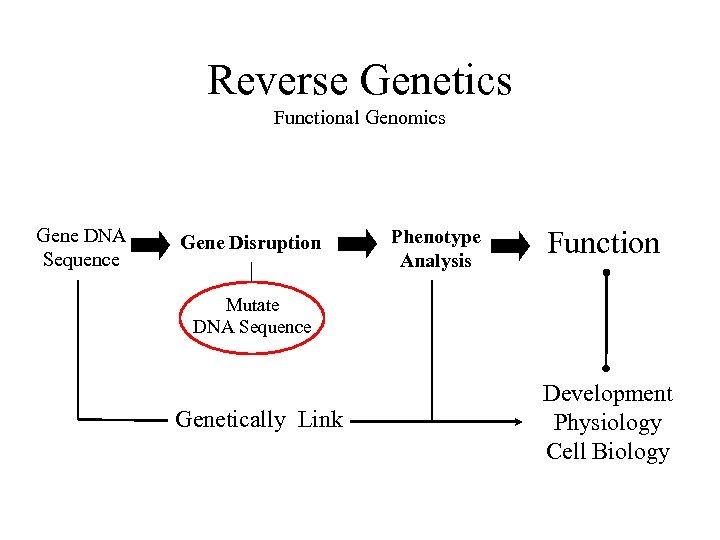Reverse Genetics Functional Genomics Gene DNA Sequence Gene Disruption Phenotype Analysis Function Mutate DNA