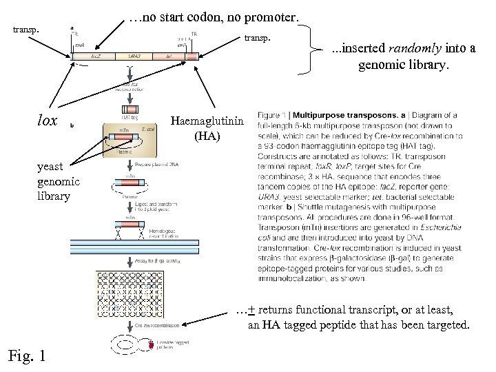 transp. lox …no start codon, no promoter. transp. . inserted randomly into a genomic