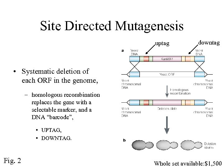 Site Directed Mutagenesis uptag downtag • Systematic deletion of each ORF in the genome,