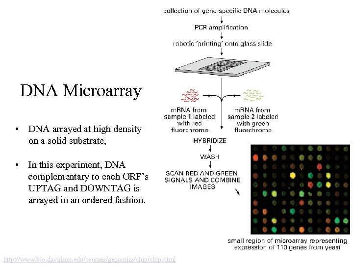 DNA Microarray • DNA arrayed at high density on a solid substrate, • In