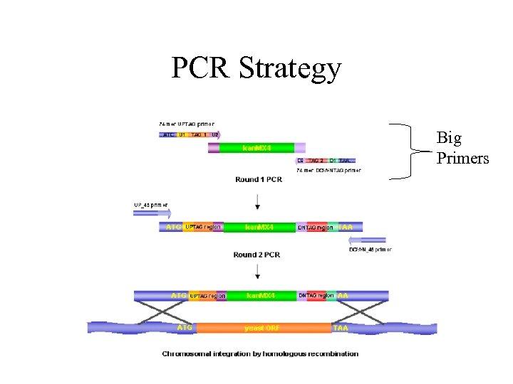 PCR Strategy Big Primers