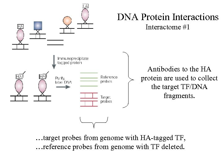 DNA Protein Interactions Interactome #1 Antibodies to the HA protein are used to collect