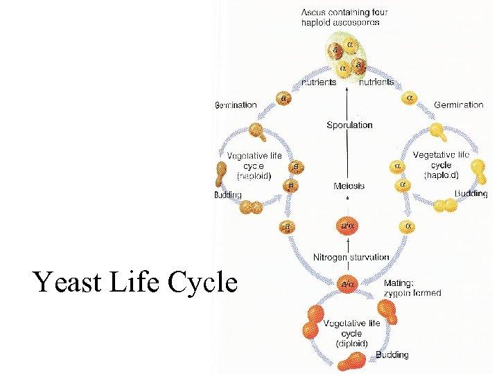 Yeast Life Cycle