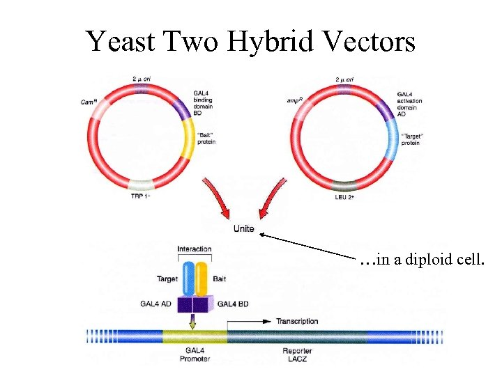 Yeast Two Hybrid Vectors …in a diploid cell.