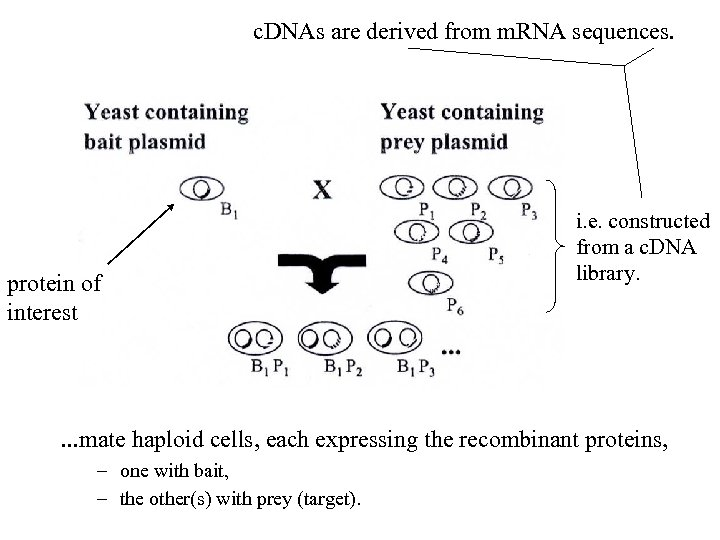 c. DNAs are derived from m. RNA sequences. protein of interest i. e. constructed
