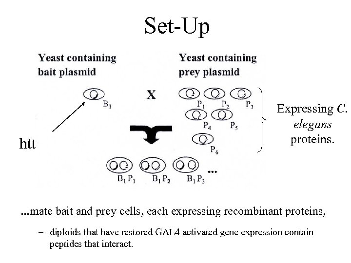 Set-Up htt Expressing C. elegans proteins. . mate bait and prey cells, each expressing