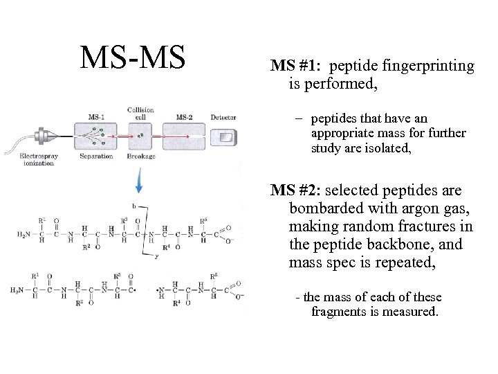 MS-MS MS #1: peptide fingerprinting is performed, – peptides that have an appropriate mass