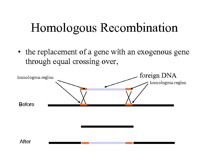 Homologous Recombination • the replacement of a gene with an exogenous gene through equal