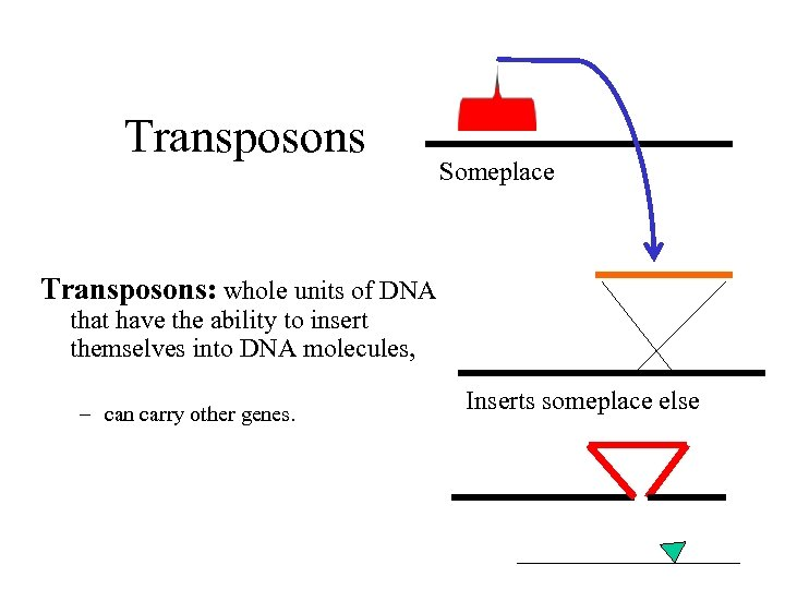 Transposons Someplace Transposons: whole units of DNA that have the ability to insert themselves