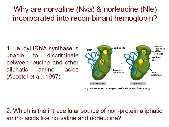 Why are norvaline (Nva) & norleucine (Nle) incorporated into recombinant hemoglobin? 1. Leucyl-t. RNA