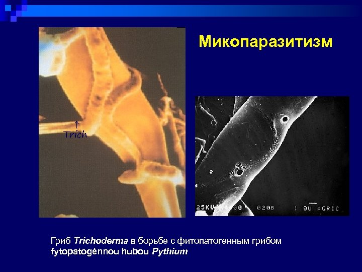 Микопаразитизм ↑ Trich Гриб Trichoderma в борьбе с фитопатогенным грибом fytopatogénnou hubou Pythium